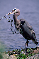 Great Blue Heron (Ardea herodias) standing on Shore beside Lake, Twig in Beak