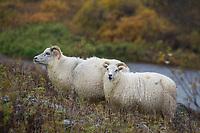 Islandschaf, Islandschafe, Island-Schaf, Island-Schafe, Schafe auf Island, Schafrasse, Icelandic sheep, Iceland