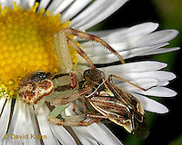 0118-07yy  Crab spider - Misumenops spp. - © David Kuhn/Dwight Kuhn Photography