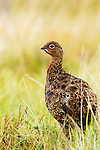 Red Grouse (Lagopus scoticus) male, Scottish Highlands, Cairngorms National Park, Scotland, United Kingdom
