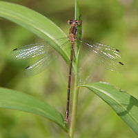 Southern Spreadwing (Lestes australis) Damselfly - Female, Somerset County, New Jersey