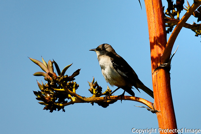Birds - Bird on a branch, Wild Birds Corona del Mar, CA.  Photo by Alan Mahood.