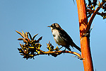 Birds - Bird on a branch, Wild Birds Corona del Mar, CA.  Photo by Alan Mahood.