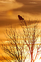 00830-050.19 Great Gray Owl is silhouetted as it is perched on tree.  Predator, hunt, bird of prey, raptor.