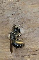 Hahnenfuß-Scherenbiene, Hahnenfuss-Scherenbiene, Scherenbiene, Scherenbienen, Weibchen, am Nest, verschließt Neströhre, Niströhre, Chelostoma florisomne, Sleepy Carpenter Bee, large scissor bee, large scissor-bee, female