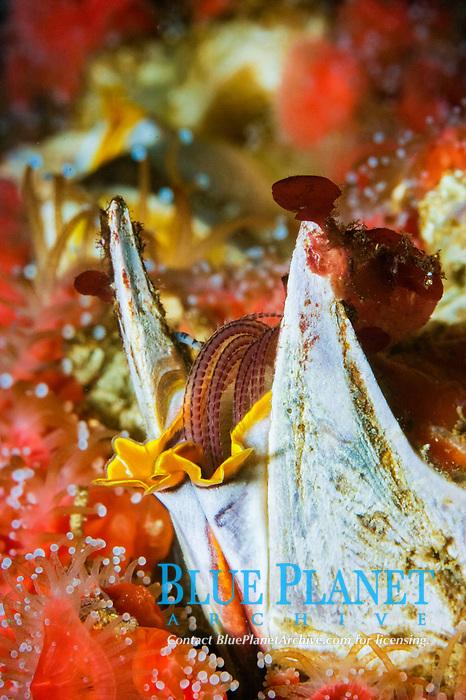 Giant Acorn Barnacle ( Balanus nubilus) (c) (do) Image showing feeding tentacles retracted.