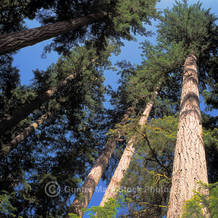 Looking up Coniferous Trees growing in a West Coast Forest, Vancouver Island, British Columbia, Canada