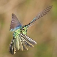 Male great sapphirewing, Pterophanes cyanopterus. Yanacocha Reserve, Ecuador