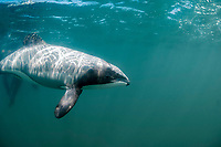 Hector's dolphin (Cephalorhynchus hectori). Endangered species. Endemic to New Zealand. The world's smallest oceanic dolphin. Akaroa Harbour. New Zealand. South Pacific Ocean