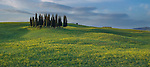 Cypress, Val d'Orcia, Italy