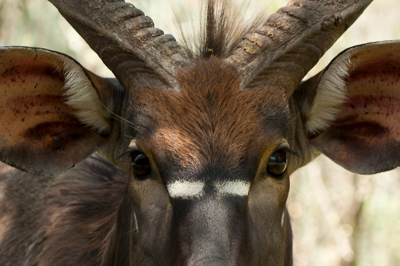 """Nyala antelope are amongst the prettiest in Africa. The bulls have horns and a """"mane"""" that runs down their back which they raise during stand offs with other bulls. The markings on their face are said to break up their silhouette and add to camouflage in dense bush."""