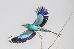 Central Africa , Abyssinian roller (Coracias abyssinicus), or Senegal roller