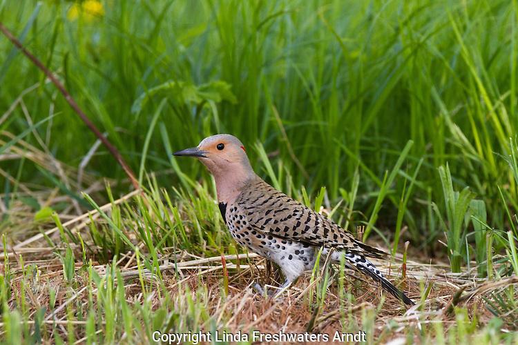Northern Flicker - Female