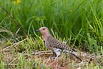 Northern Flicker - Female
