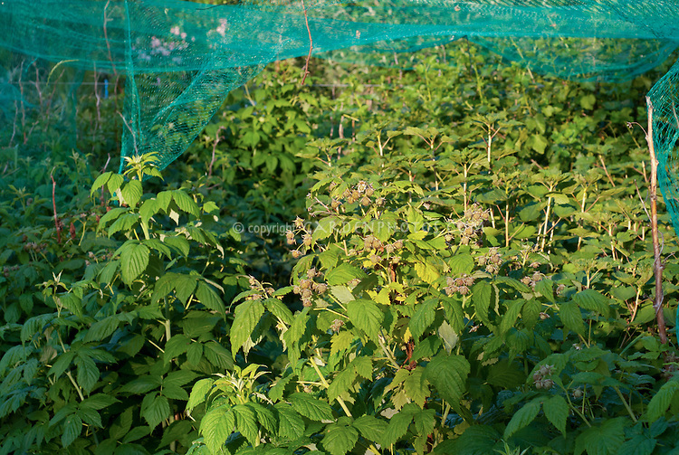 Bird netting over garden raspberries fruit to protect from animals