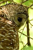 Female Barred Owl in Corkscrew Swamp near Naples, Florida