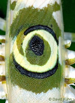 "0406-07rr  Spiny Flower Mantis (#9 Mantis) - Pseudocreobotra wahlbergii ""Female"" - © David Kuhn/Dwight Kuhn Photography"
