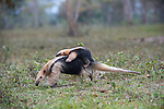 Female Southern Tamandua (Tamandua tetradactyla) (also called the Collared Anteater or Lesser Anteater) carrying its young / infant on her back. Northern Pantanal, Mato Grosso State, Brazil.