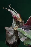 Devil's Flower, Emperor Mantid (Idolomantis diabolica)
