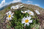 Alpine Moon Daisy (Leucanthemopsis alpina), fisheye lens view showing habitat, growing on mountainside. Nordtirol, Tirol, Austrian Alps, Austria, 2100 metres altitude, July.