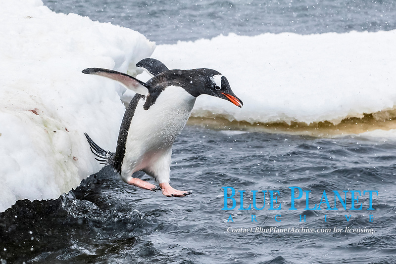 gentoo penguin, Pygoscelis papua, diving to sea from breeding colony at Port Lockroy, Antarctica, Southern Ocean