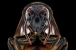 """Pictured: A vespa wasp<br /> <br /> Incredibly detailed close-up photos of insects make them look like creatures straight from a science-fiction film.  The extreme macro photographs make flies, dragonflies, a grasshopper, ants, wasps, a bee and beetles appear lifesize and show them in detail impossible to see with the naked eye.<br /> <br /> The photographs were taken by Lessy Sebastian in Jakarta, Indonesia, who found all the bugs in his garden.  Mr Sebastian, 57, said: """"I was just amazed when I looked back at the photos.  SEE OUR COPY FOR DETAILS.<br /> <br /> Please byline: Lessy Sebastian/Solent News<br /> <br /> © Lessy Sebastian/Solent News & Photo Agency<br /> UK +44 (0) 2380 458800"""
