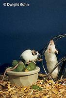 MU50-031x  Pet Mouse - exploring