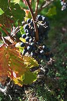 Europe/Europe/France/Midi-Pyrénées/46/Lot/Caillac: Vignoble AOC Cahors du  Château  de La Grézette -Cépage Malbec