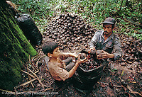 Castañeros, Brazil nut harvesters, gathering Brazil nuts in lowland tropical rainforest, Madre de Dios, Peru.