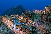 Blue starfish on rock (phataria unifascialis), underwater view, Ecuador, Galapagos Archipelago, Espanola Island