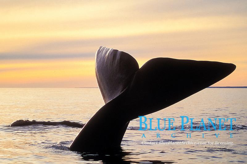 southern right whale, Eubalaena australis, fluke, Valdes, Argentina, South Atlantic