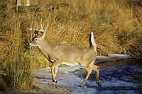 White-tailed deer (Odocoileus virginianus) buck crossing stream in November.