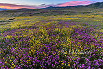 Dusk, Owls Clover, Monolopia, Fiddlenecks, Coreopsis, Cliente Range, Carrizo Plain National Monument, San Luis Obispo County, California