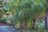 Nolina recurvata aka. Beaucarnea recurvata (Elephant Foot Tree, Pony Tail Palm, Bottle Palm) at Leaning Pine Arboretum, California garden