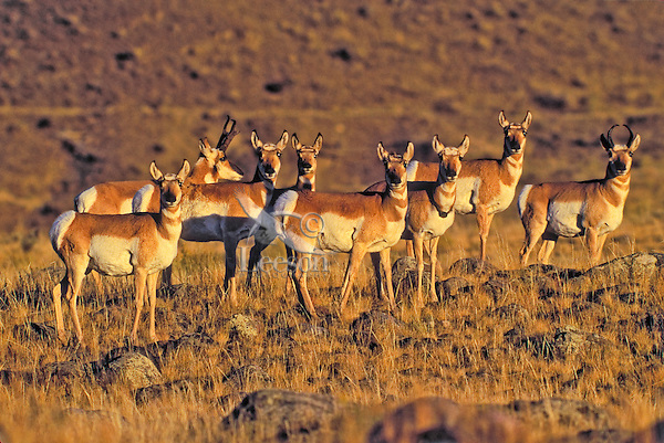 Pronghorn (Antilocapra americana) herd in prairie grassland, autumn, Yellowstone National Park, Montana, USA.