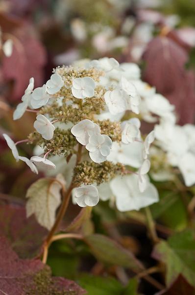 Hydrangea Quercifolia 'Syke's Dwarf'