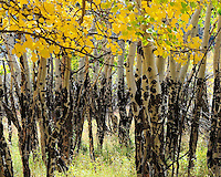 Spotted trunks of Aspen trees in the Fall, Colorado