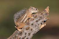 Harris's Antelope Squirrel,  Ammospermophilus harrisii, adult on branch,Tucson, Arizona, USA, September 2006