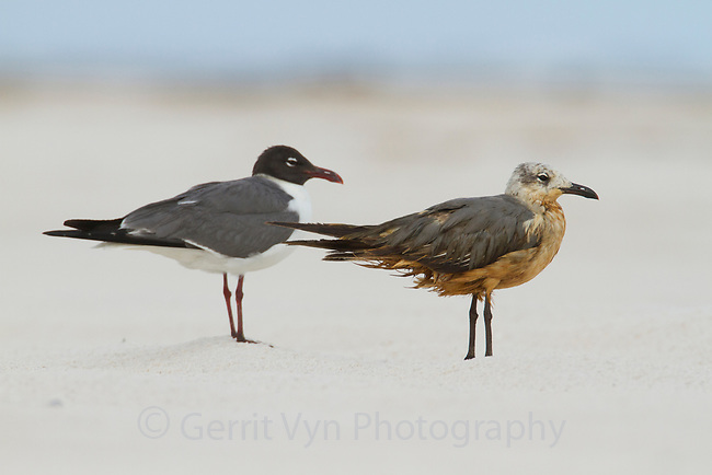 Heavily oiled immature Laughing Gull (Larus atricilla) standing next to clean adult in breeding plumage. Baldwin County, Alabama. June.