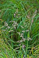 Wolliges Honiggras, Honig-Gras, Holcus lanatus, Holcus lanata, Yorkshire Fog, Soft Grass, Houqu