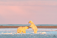 """Against the backdrop of a magical Arctic sunrise, the larger Polar Bear (Ursus maritimus) prepares to deliver the """"boom"""" - clapping his huge paws together on the skull of the smaller bear. Smaller bear almost seems to be anticipating the pain. Luckily for him this was autumn and these bears were just sparring or play fighting. No serious injuries here."""
