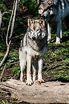 grey wolf grey color phase standing on fallen log, vertical