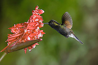 Black-bellied Hummingbird, Eupherusa nigriventris, male in flight feeding on Flower of the Ginger plant family , Central Valley, Costa Rica, Central America, December 2006