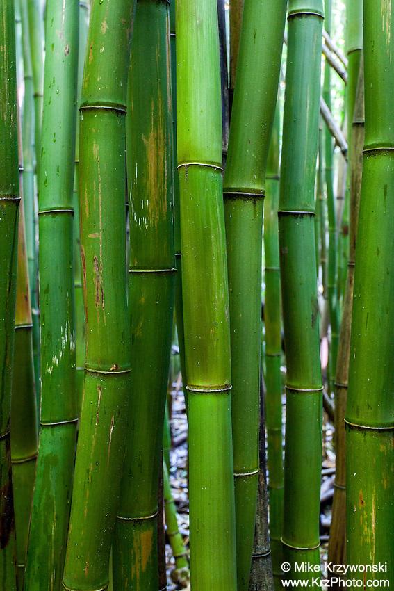 Closeup view of bamboo in bamboo forest, Pipiwai hiking trail, Haleakala National Park, Kipahulu, Maui