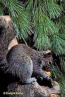 MA23-007z   Gray Squirrel - eating acorn - Sciurus carolinensis