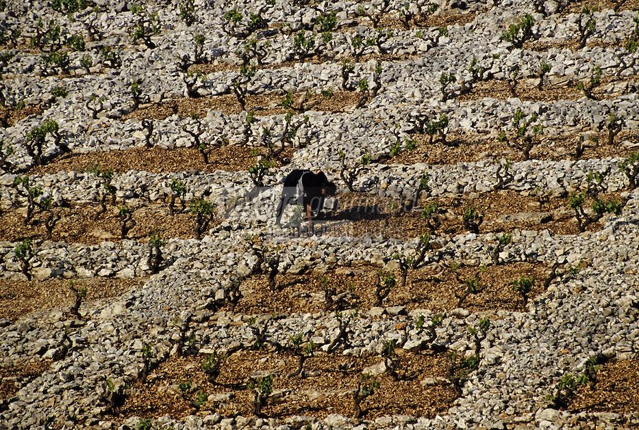 Croatie/Dalmatie/Primosten: Le vignoble - Entretien de la vigne