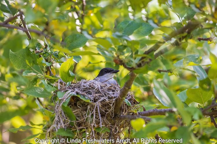 Eastern kingbird sitting on a nest in an apple tree.