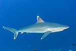 Rangiroa Atoll, Tuamotu Archipelago, French Polynesia; a silvertip shark swimming in the blue above a coral reef wall
