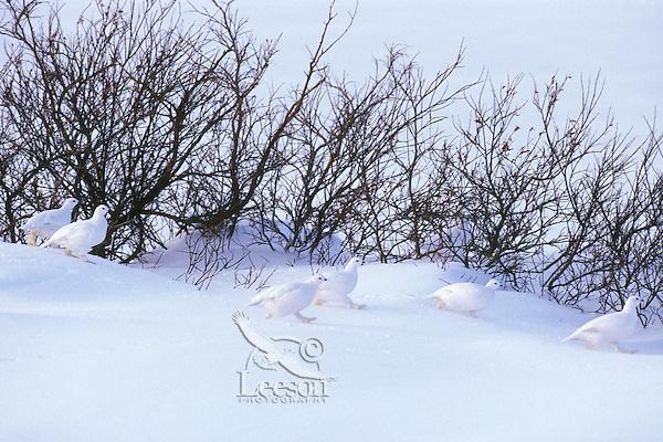 Flock of Willow ptarmigan (Lagopus lagopus) among willows.  Canadian Arctic.  Winter