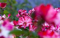 Bicolor rose 'Fourth of July' in Filoli garden